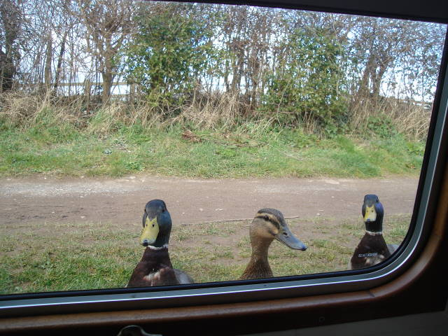 Ducks at Seend