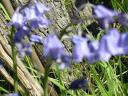 Bluebells and wood