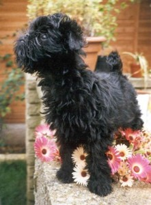 Denise's first Affenpinscher